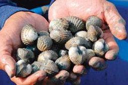 เลี้ยง หอยแครง ในบ่อดิน รูปแบบใหม่-ปลอดสารพิษ