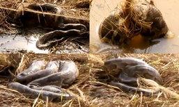 """ชาวบ้านผงะพบ """"งูเหลือม"""" ยาวกว่า 2 ม. 8 ตัว เลื้อยติดตาข่าย"""