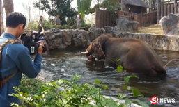 ช้างดังสวนสัตว์เชียงใหม่ ตกมันคลั่ง ทำร้ายควาญดับคาที่