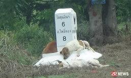 อ่างทองไม่พลาด หมา 3 ตัวนอนเฝ้าหลักกิโลฯ เหมือนใบ้เลข