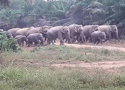 หลายหน่วยงานเสริมกำลังกันช้างป่าทำร้ายชาวจันทบุรี