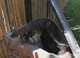 สวนสัตว์ขอนแก่นเปิดตัวตัวกินมดยักษ์รับปีใหม่
