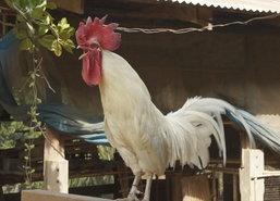 สุโขทัยสีสันปีระกาพบไก่หัวเราะได้พันธุ์โรสคอมบ์