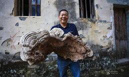 ใหญ่มาก! ชาวบ้านในจีนเจอหลินจือยักษ์ สองแขนโอบยังแทบไม่หมด