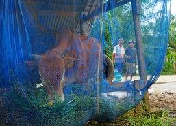 อุทกภัยพัทลุงทำเจ้าของวัวควายยังเดือดร้อน