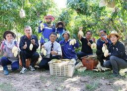 ชาวสวนมะม่วงพิจิตรรับทรัพย์เทศกาลตรุษจีน