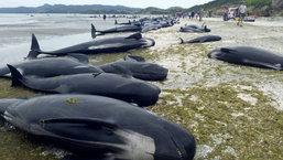 อึ้ง! วาฬเกยตื้นกว่า 400 ตัว บนชายหาดนิวซีแลนด์
