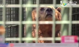 ชายจีนถูกหมีกัดนิ้ว หลังแหกกฎให้อาหาร