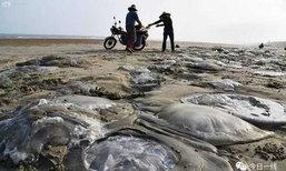 อื้อ! กองทัพแมงกะพรุนเกยตื้นตายที่หาดกว่างตง ชาวบ้านแห่เก็บไปกิน