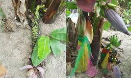 กล้วยประหลาดแทงเครือจากดิน ป้าผูกผ้าบูชาถูกหวย 7 งวดซ้อน