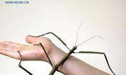 """สำเร็จ! จีนเพาะเลี้ยง """"แมลงตัวใหญ่สุดในโลก"""""""