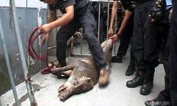 ชุลมุน! หมูป่าตัวเขื่องบุกรพ.ในจีน ตำรวจล้อมจับวุ่น