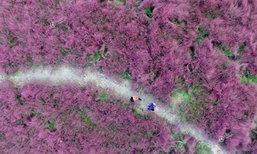 สวยตระการตา! ทุ่งหญ้าสีชมพูสุดหวานที่เมืองเจิ้งโจว
