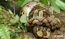 ชาวบ้านฮือฮา ศึกแห่งสายพันธุ์ งูเหลือมปะทะงูจงอางยักษ์