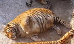 นึกว่าหมูป่า...ชาวบ้านในจีนบังเอิญเจอ เสือตัวอ้วน กลางหิมะในป่า
