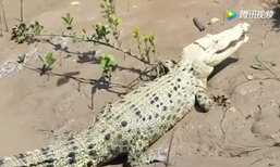 ฮือฮา พบจระเข้เผือกหายากในแม่น้ำที่ออสเตรเลีย