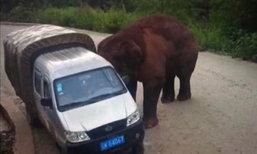 ช้างป่าจีนเจ้าถิ่นจู่โจมรถบัสโดยสาร เหวี่ยงใส่รถผ่านไปมา