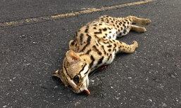 สุดเศร้า แมวดาว สัตว์ป่าหายาก ถูกรถชนตายกลางถนนเขาใหญ่