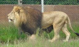 สวนสัตว์เดนมาร์กชวนบริจาคสัตว์เลี้ยง เพื่อเป็นอาหารให้สิงโต?