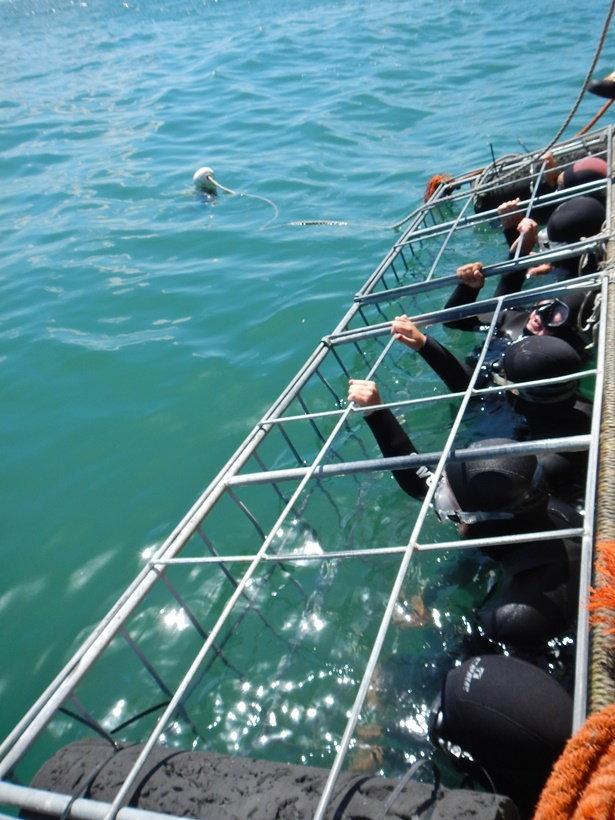 การดำน้ำดูฉลามขาวในประเทศแอฟริกาใต้