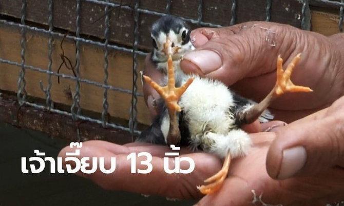 ลูกไก่ 3 ขา เลขเด็ด
