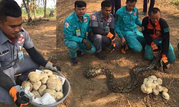 วิ่งป่าราบ ชาวบ้านผวาเจอรังงูเหลือม พร้อมไข่ใบยักษ์ 22 ฟอง