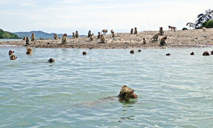 หวั่นพาไปตาย ย้ายลิงปล่อยเกาะ ห่วงจะขาดแคลนอาหารตาย