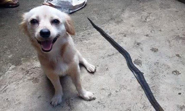 หมาตัวน้อยต่อสู้งูเห่า กัดหัวขาดคว้าชัย แม้ไม่กี่นาทีจะสิ้นใจตาม