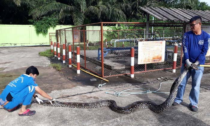 อิ่มแปล้! งูเหลือมยักษ์ยาวกว่า 6 เมตร เขมือบเป็ดในคอกก่อนขดรอ จนท.มาจับปล่อยป่า