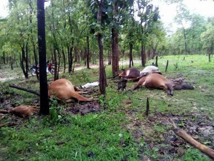 ฟ้าพิโรธ ผ่าลงคอกวัว ตายรวด 13 ตัว ปศ.ตาก เร่งเยียวยาเจ้าของ