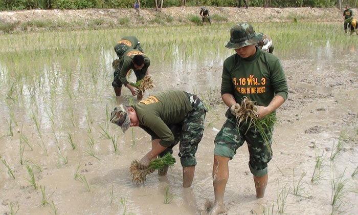 ทหารยโสธร ลงแขกดำนาช่วยชาวนาที่ขาดแคลนแรงงาน