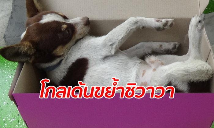 เจ้าของชอกช้ำ ชิวาวาแสนรักถูกหมาเพื่อนบ้านขย้ำตาย รับไม่ได้ชดใช้แค่ 1 พัน