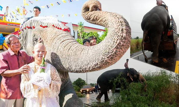 """รู้จัก """"พลายจารึก"""" ช้างฮีโร่ ช่วยลากต้นไม้ขวางถนน หลังเสร็จงานเดินขึ้นรถกลับบ้าน"""