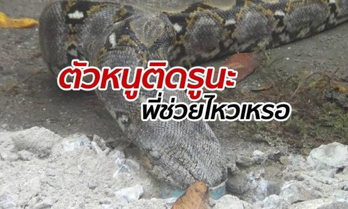 กู้ภัยกล้าๆ กลัวๆ แต่ต้องช่วย งูเหลือมนึกว่าหุ่นเพรียว ติดแหง็กคาท่อ