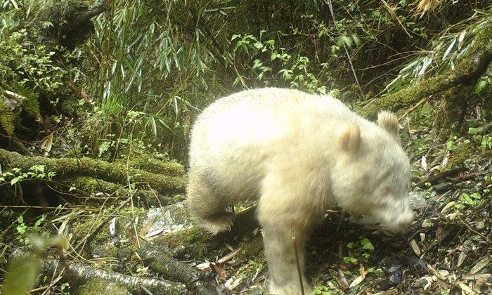 """ฮือฮาทั้งแผ่นดินใหญ่ จีนค้นพบ """"แพนด้าเผือก"""" เจ้าหมีสีขาวล้วนที่เจอตัวได้ยาก"""