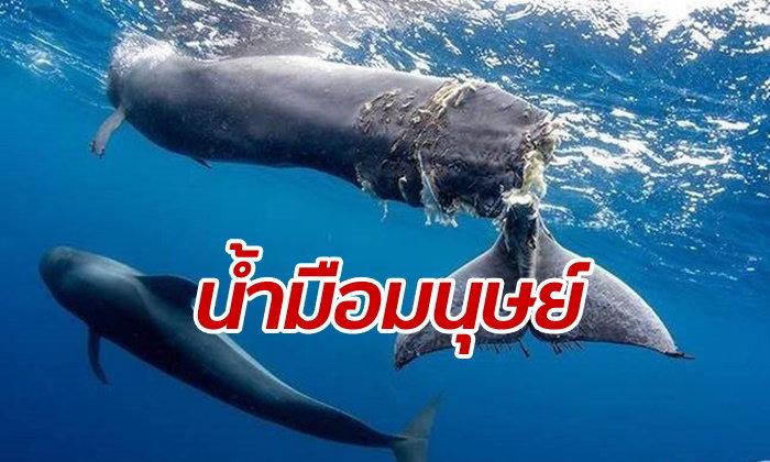 สุดเจ็บปวด ลูกวาฬถูกใบพัดเรือตัดหางเกือบขาด ช่วยไม่ได้ต้องจำใจฆ่า