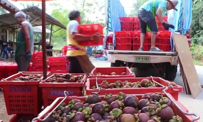 ชาวสวนมังคุดเฮ! สตก.พังงา ตั้งจุดรับซื้อมังคุด ส่งผลราคาปรับสูงขึ้นกิโลกรัมละกว่า 20 บาท