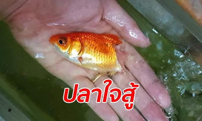 """""""ถุงทอง"""" ปลาเนื้อหลุดไปครึ่งตัวจนก้างโผล่ เจ้าของไม่ถอดใจยื้อชีวิตไว้ได้"""