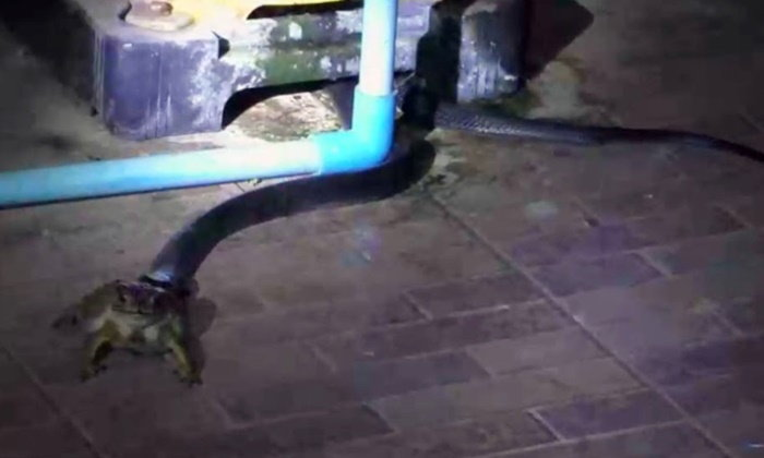 งูเห่าตัวเดิมเลื้อยเข้าบ้าน 2 วันติด ปากคาบคางคก คอหวยส่องบ้านเลขที่