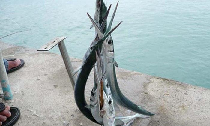 """ดร.ธรณ์ ยกเป็นเคสแรกของไทย ทหารเรือถูก """"ปลาเต็กเล้ง"""" พุ่งแทงคอเสียชีวิต"""