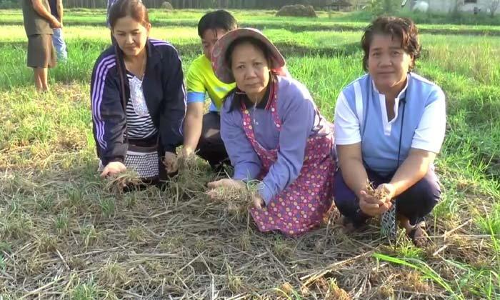 """เกษตรกรช้ำหนัก! อากาศแปรปรวน ทำ """"หอมแดง"""" เน่าเสียหายกว่าพันไร่"""
