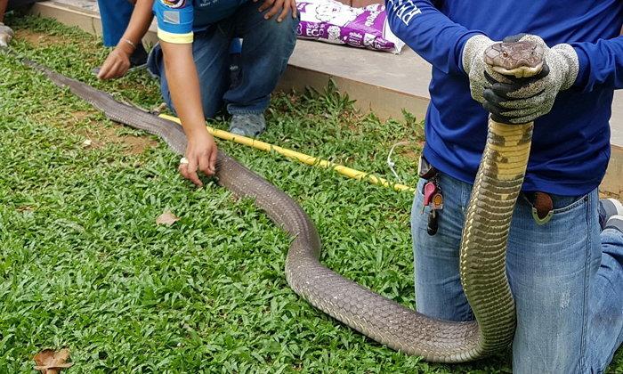 """ขนลุกเกรียว """"งูจงอางยักษ์"""" ยาว 5 เมตรเลื้อยเข้าร้านอาหาร หมาเห่าช่วยชีวิต"""
