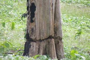 นายทุนบุกรุกป่าแม่ฮ่องสอนตัดไม้อายุ100ปี