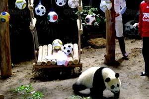 สวนสัตว์เชียงใหม่จัดงาน1ปี1เดือนหลินปิงฯ