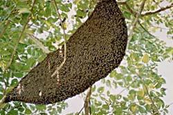 ผึ้งหลวงรุมต่อยเด็กนักเรียนเจ็บ 50 สาหัส 1 ราย