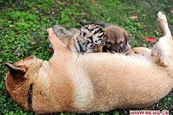 น่ารัก! ลูกเสือตัวเล็กดูดนมจากแม่สุนัข