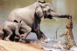 โอ้..! วินาที ช้าง ปะทะ จระเข้
