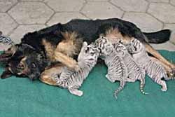 อบอุ่น! สุนัขให้นมลูกเสือ