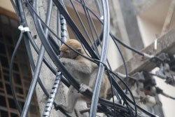 สลด! ลูกลิงหลุดกรง หิวโซ-กินสายไฟประทังชีวิต