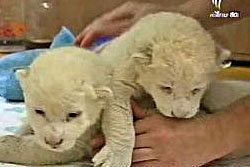 เปิดตัว 2 ลูกสิงโตขาวในสวนสัตว์ของเซอร์เบีย